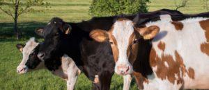 Eau structurée et vaches laitières : moins de cellules, plus de lait