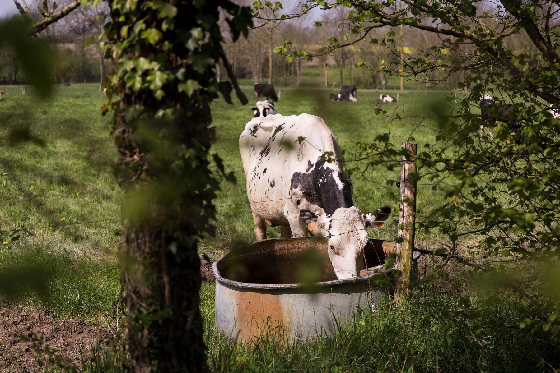 Baisse des cellules pour les vaches laitières et amélioration du rendement